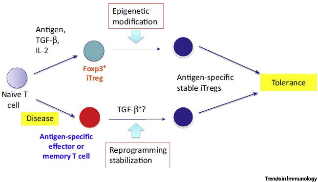 پایداری، توسعه و کاربرد سلول های T تنظیمی القایی