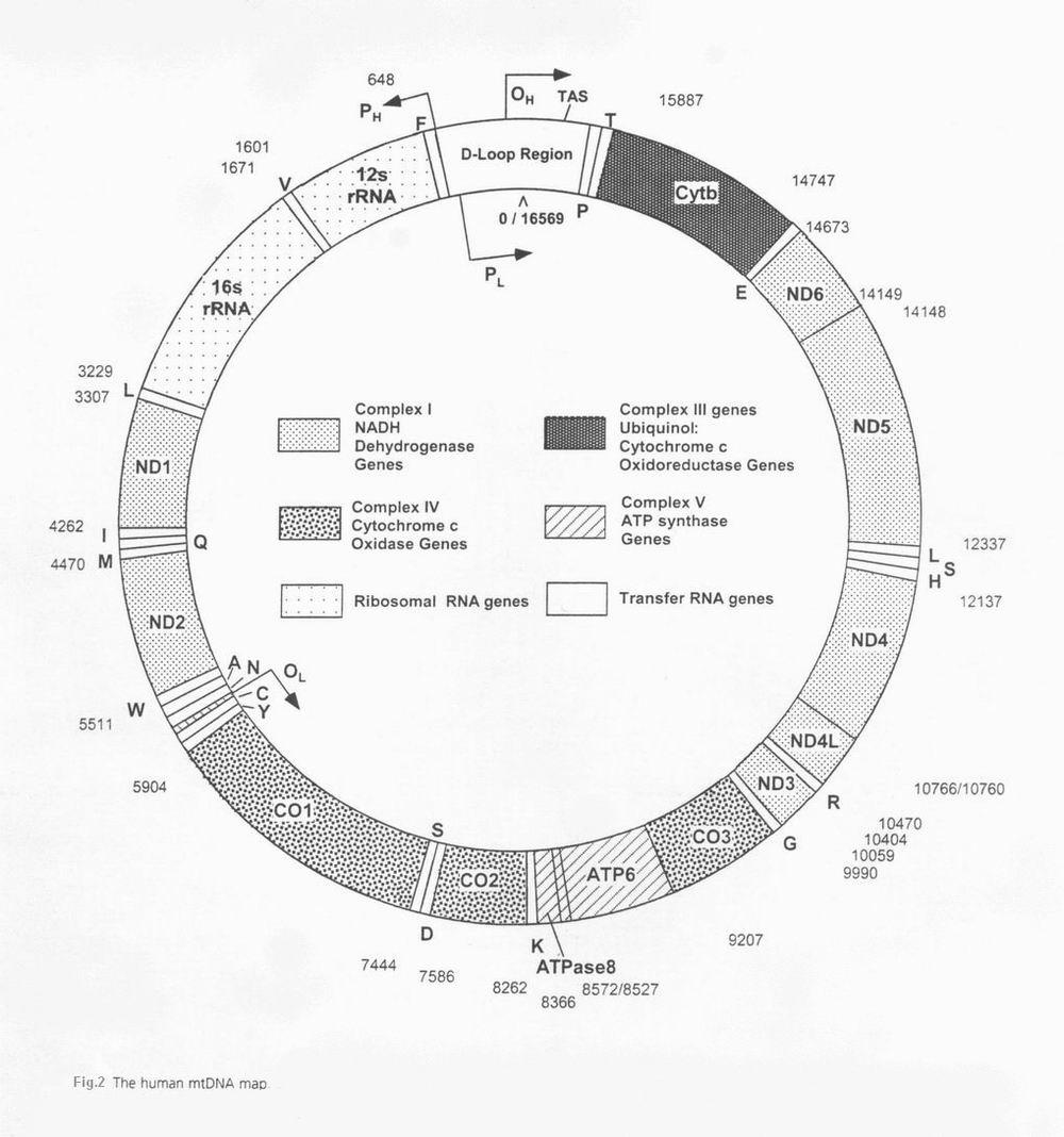 ساختار میتوکندری در انسان و نقش آن در ایجاد