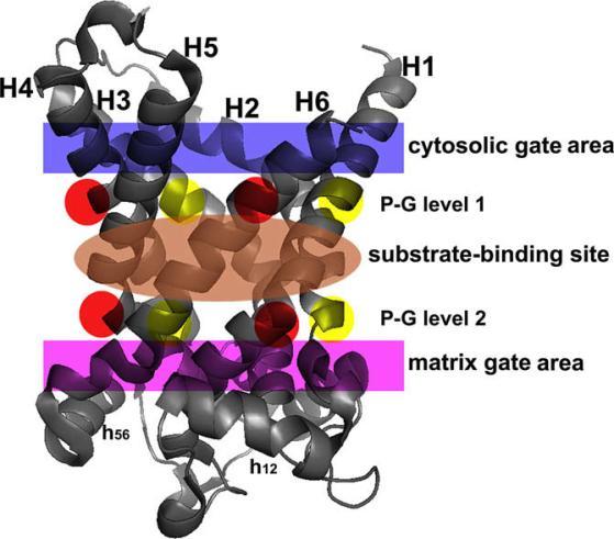 ساختار و وظیفه حامل های میتوکندری (MCs) – نقش
