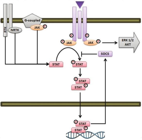 اجزای اصلی مسیر سیگنال دهی JAK-STA
