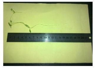 طول 3 نهال جعفری در 0 و 30 میلی گرم / میلی لیتر نانو آناتاز