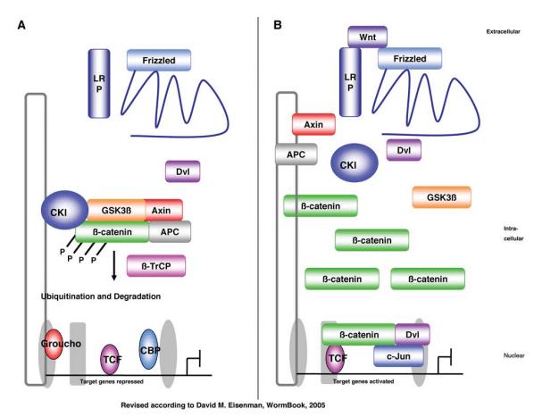 بیماری مولتیپل میلوما و اثر مسیر سیگنالینگ Wnt
