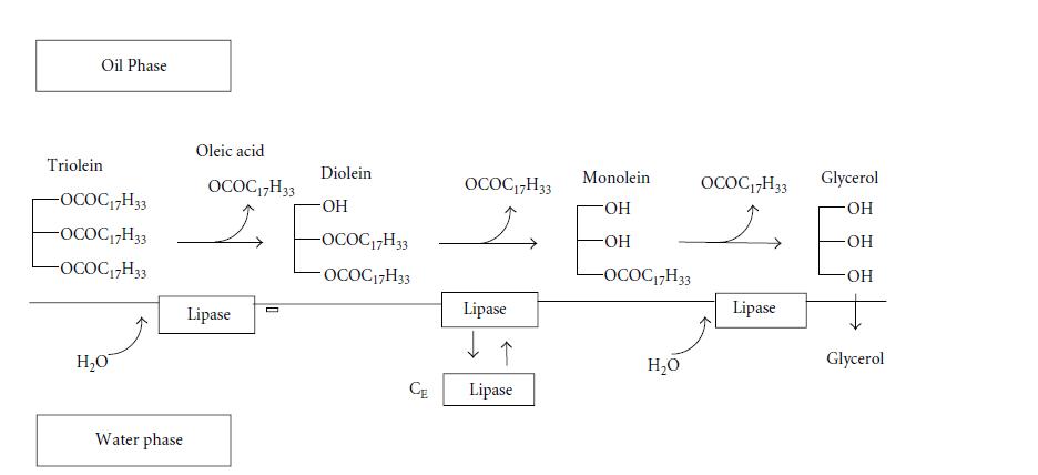 مکانیزم مطرح شده برای هیدرولیز تریولین توسط کاندیدا راگوسا لیپاز در سیستم دو فازی