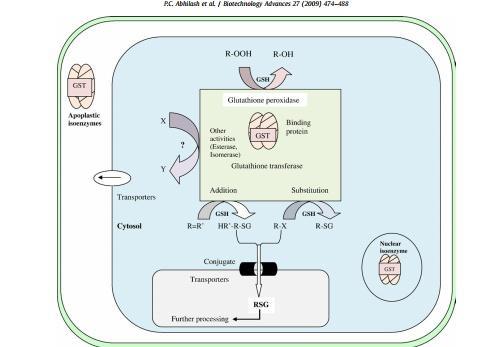 نمایش نموداری نقش GST در سم زدایی زنوبیوتیک و متابولیسم درونی