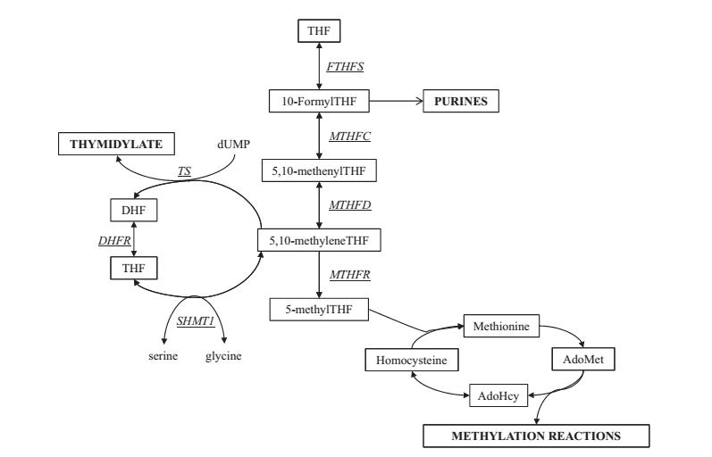 اثر اسید فولیک غذایی بر تعداد اسپرم، آسیب DNA